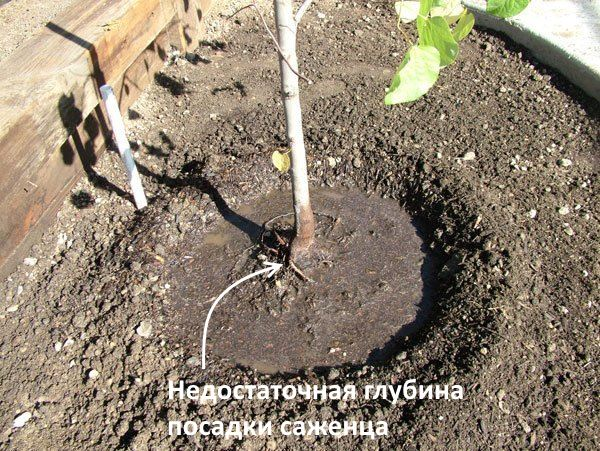 Саженец груши с корнями над поверхностью земли вследствие неправильной посадки