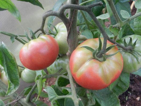 Крупные помидоры с зеленой плодоножкой крупным планом