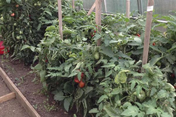 Низкие кустики помидоры в условиях теплицы, подвязанные к опорным колышкам