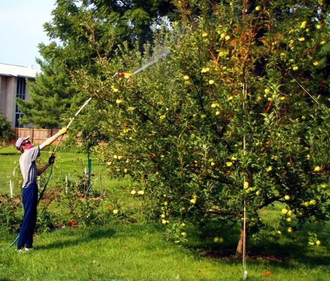 Садовод опрыскивает взрослое дерево груши от бактериального ожога