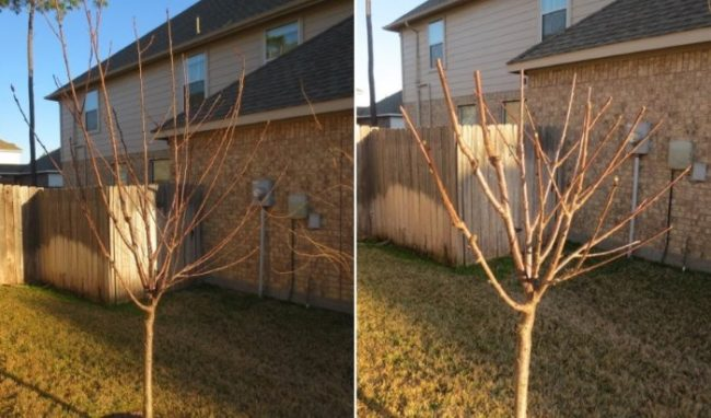 Фото грушевого деревца до и после осенней обрезки