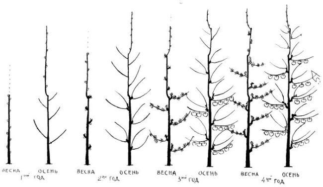 Схема поэтапной обрезки колоновидной груши в первые четыре года произрастания
