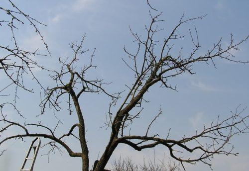Фото старого дерева после омолаживающей обрезки