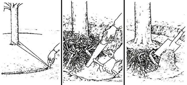 Схема проведения работ по омолаживанию корней груши