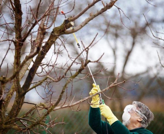Опрыскивание груши медным купоросом ранней весной от вредителей