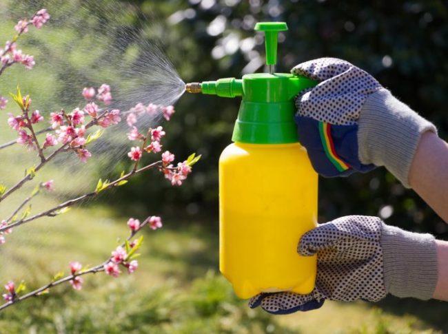 Опрыскивание груши из ручного распылителя