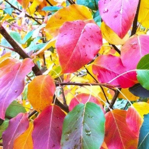 Осенние листья груши, изменившие окраску вследствие естественного процесса фотосинтеза