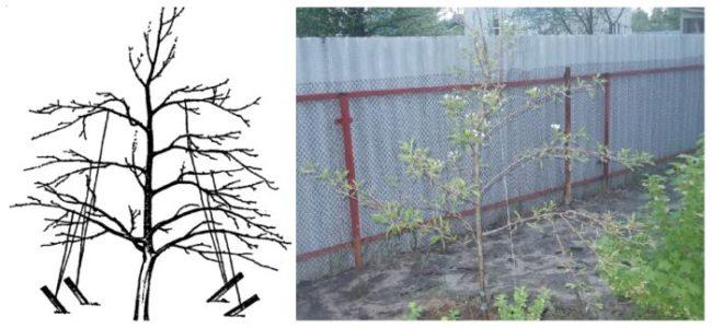 Схема и фото отгибания веток груши для увеличения урожайности