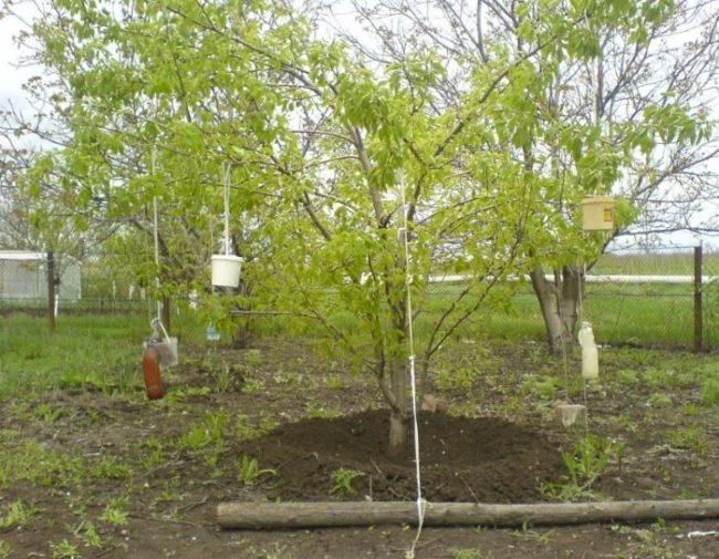 Пригибание веток грушевого дерева к земле подручными средствами