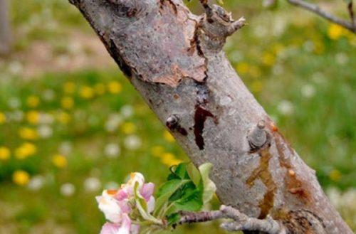 Трещины на коре грушевой ветке из поражения бактериальными заболеваниями
