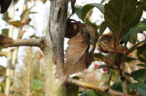 Ветка груши с открытой раной на коре дерева
