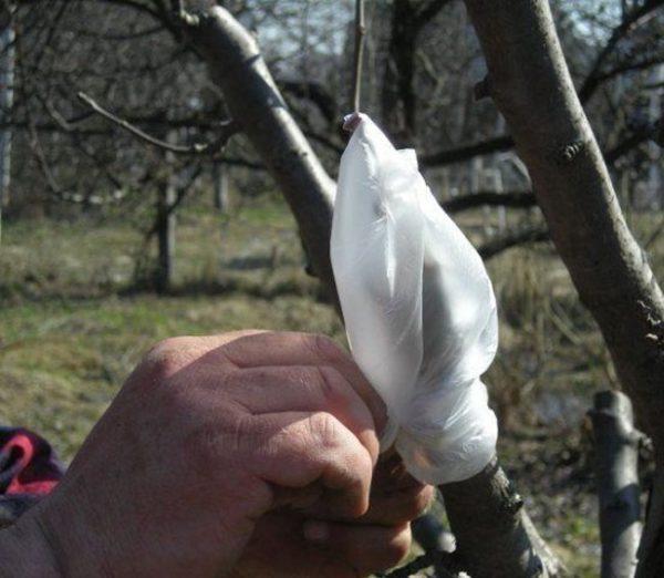 Полиэтиленовый пакет на месте прививки грушевого черенка
