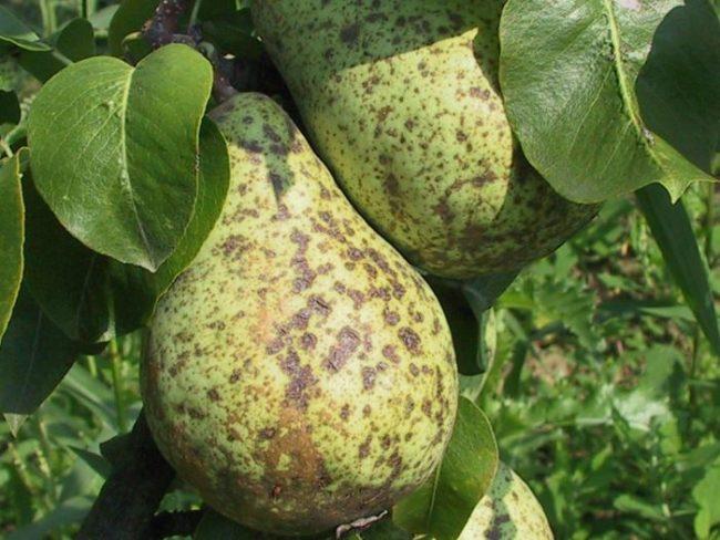 Зеленая груша с серо-коричневыми пятнами от парши