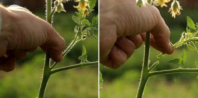 Процесс пасынкования помидоры пошагово на фото