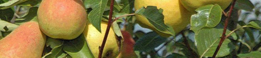 Спелые плоды груши в Краснодарском крае