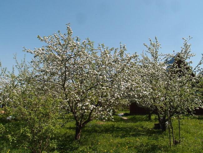 Цветение плодового сада с деревьями груш различных сортов