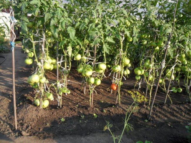 Подвязка кистей помидоров к деревянным рейкам