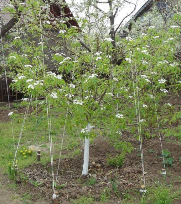 Пригибание веток грушевого дерева в горизонтальное положение