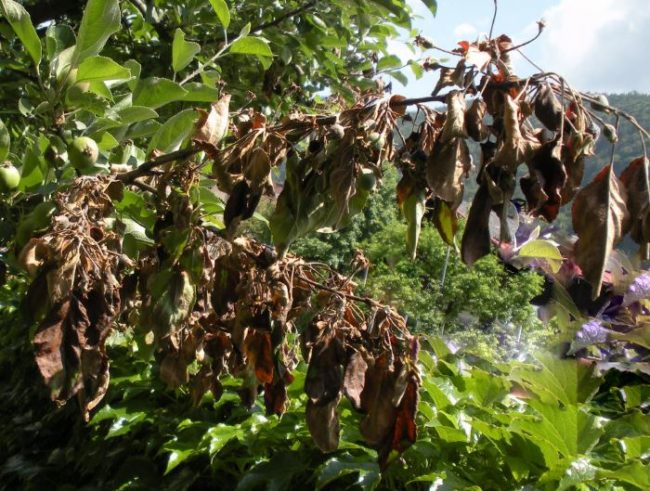 Погибающие ветки груши из-за поражения дерева бактериальным ожогом