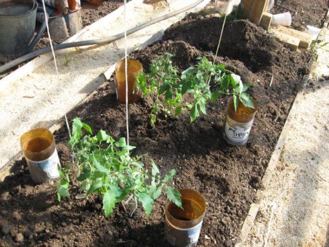 Обрезанные для полива пластиковые бутылки на грядке с помидорами