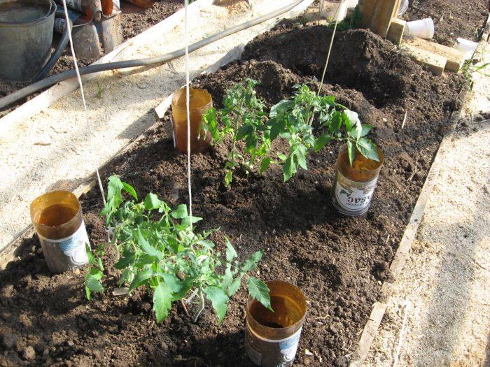полив томатов через пластиковые бутылки фото среда обитания