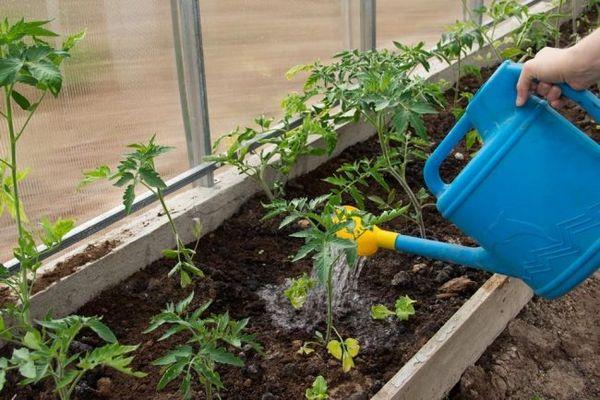 Полив кустов томатов из лейки в теплице
