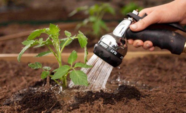 Полив молодого кустика помидора из садового распылителя