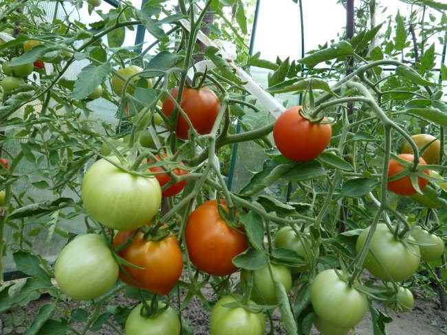Куст томата с красными и зелеными плодами в закрытом грунте