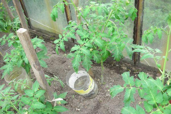 Использование пластиковых бутылок для полива помидоры в теплице