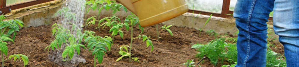 Полив помидор в теплице из лейки