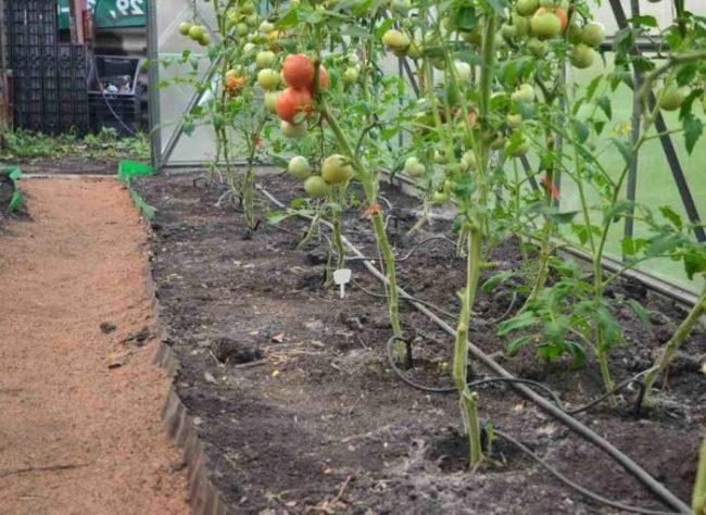 Кусты помидоров на грядке с капельным поливом
