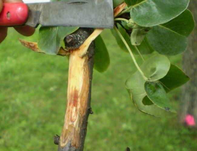 Срез коры на ветке груши с кадмием, пораженным бактериальным ожогом