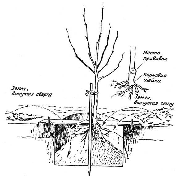 Схема обустройства ямы для посадки саженца грушевого дерева