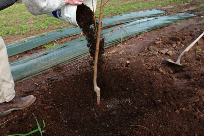 Мульчирование саженца груши компостом сразу после посадки