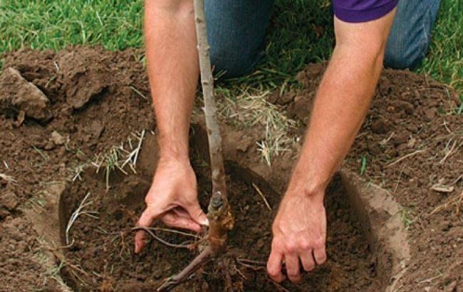 Посадка саженца груши с открытой корневой системой