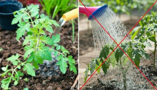 Главное правило полива куста помидоры
