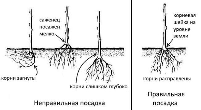 Схемы размещения саженца груши в посадочной яме