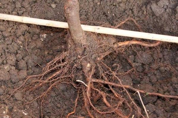 Примерка саженца груши в посадочной яме