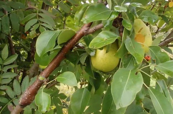 Плоды груши на ветке, привитой к деревцу рябины