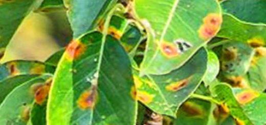 Жёлтые пятна на листьях груши вблизи