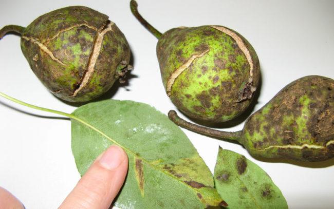 Треснутые груши листья с признаками грибкового заболевания