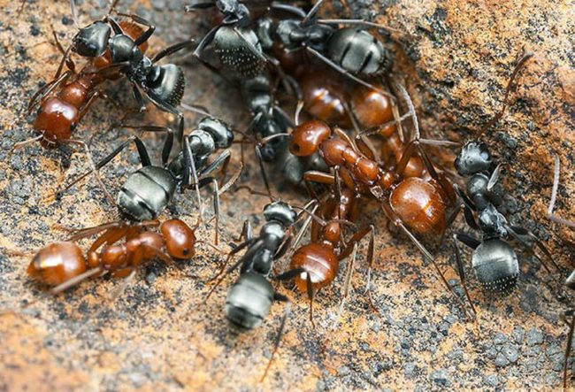 Фото рыжих и черных садовых муравьев крупным планом
