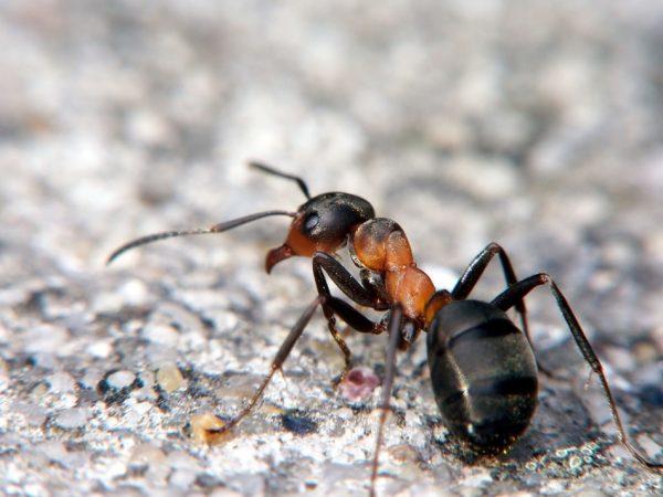 Фото рыжего муравья под большим увеличением