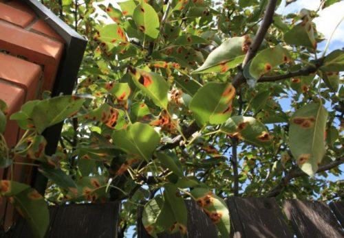 Ветки грушевого дерева с ржавыми пятнами на листьях