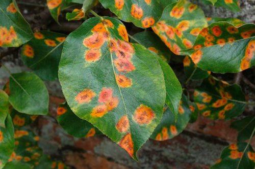 Зеленый лист груши с ржавыми пятнами