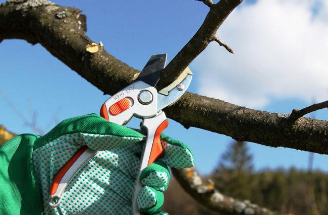 Осенняя обрезка веток груши с целью формирования правильной кроны