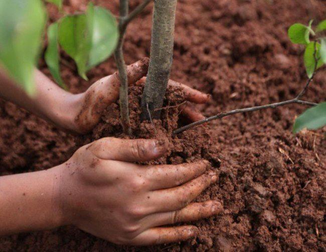 Посадка саженца грушевого дерева своими руками