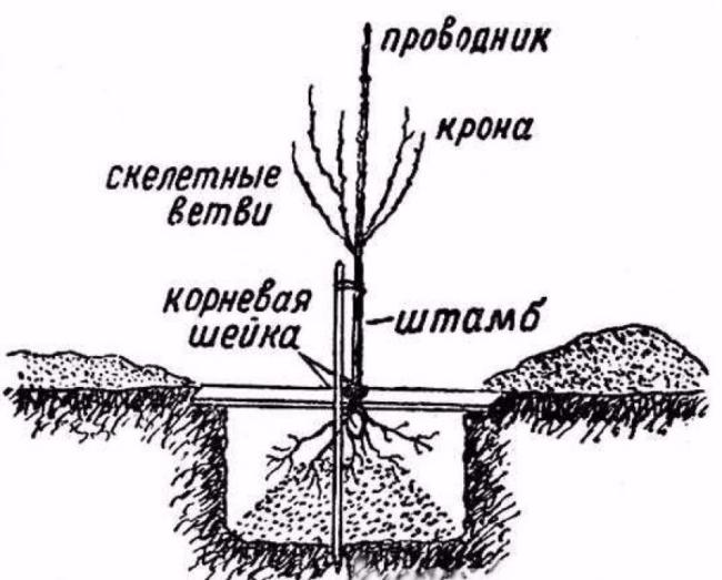 Схема посадки саженца груши на частном садовом участке
