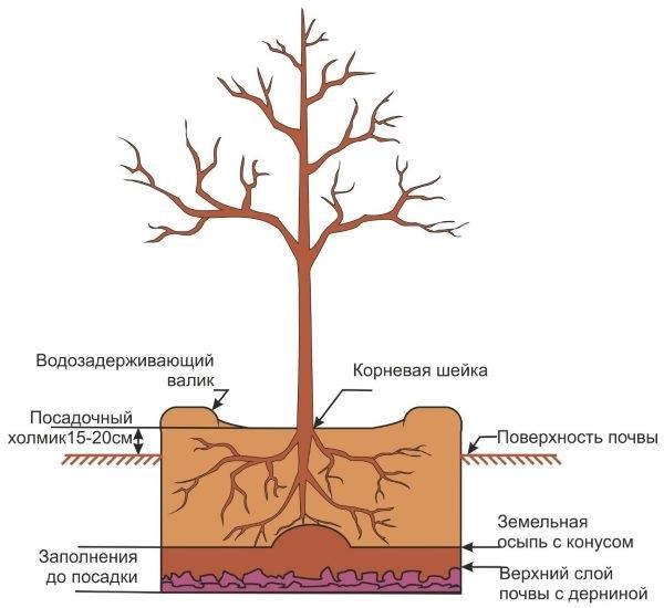 Схема рекомендуемой ямы для осенней посадки грушевого саженца
