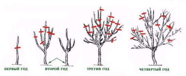 Схема формирования кроны груши в первые четыре года
